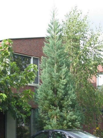 Sequoiadendron giganteum 'Glaucum' - Mammoetboom