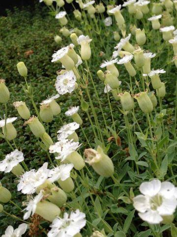 Silene uniflora 'Weisskelchen' - Lijmkruid, zeelijmkruid, hemelroosje