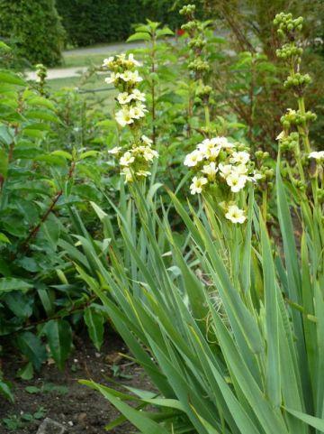 Sisyrinchium striatum  -