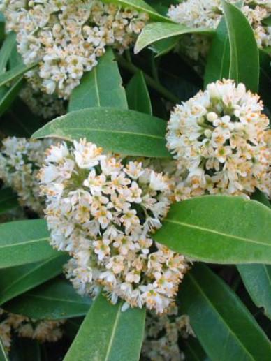 Skimmia  japonica 'Kew Green' - Skimmia