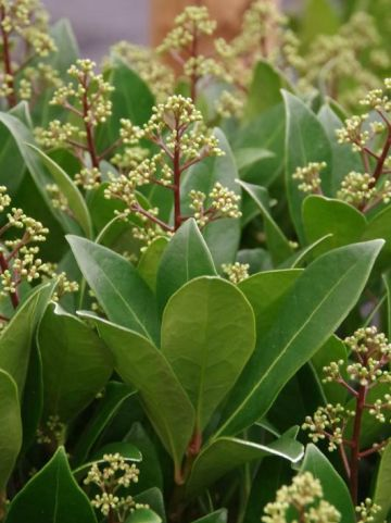 Skimmia japonica 'Attraction' -