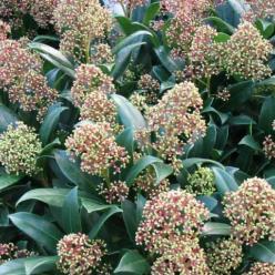 Skimmia japonica 'Emerald King' -