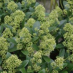 Skimmia japonica 'Magical Finchy' (='Finchy') -