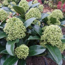 Skimmia japonica 'White Globe' (='Fm1') -