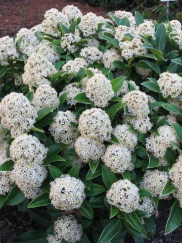Skimmia japonica 'Fragrant Cloud' -