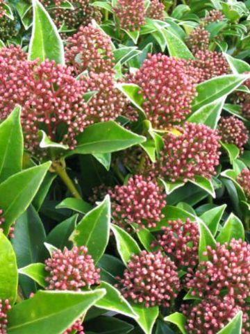 Skimmia japonica 'Godrie's Dwarf' -