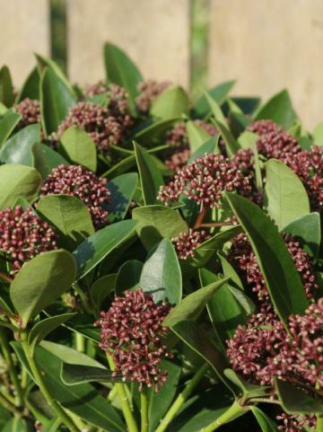 Skimmia japonica 'Red Dwarf' (='Moerings 2') -