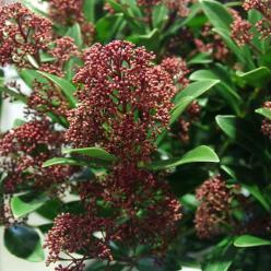 Skimmia japonica 'Rubesta' (='Moerings 3') -