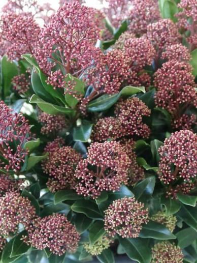Skimmia japonica 'Rubesta Jos' (='Moerings 45') -
