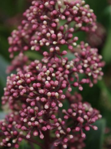Skimmia japonica 'Rubesta Optima' (='Moeropti') -