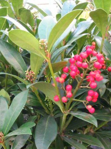 Skimmia japonica 'Nymans' -