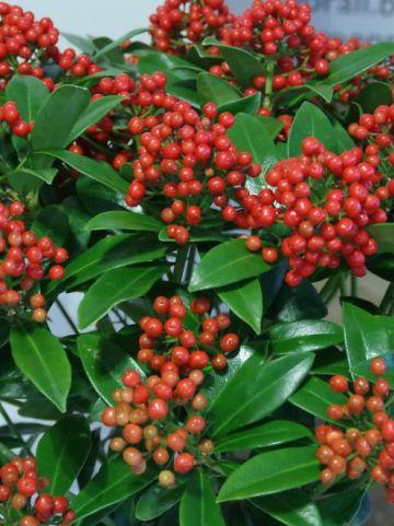 Skimmia japonica 'Pabella' -