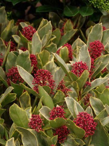 Skimmia japonica 'Perosa' -