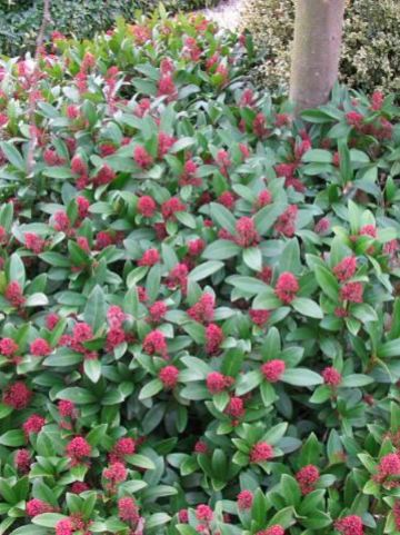 Skimmia japonica 'Rubella' - Skimmia