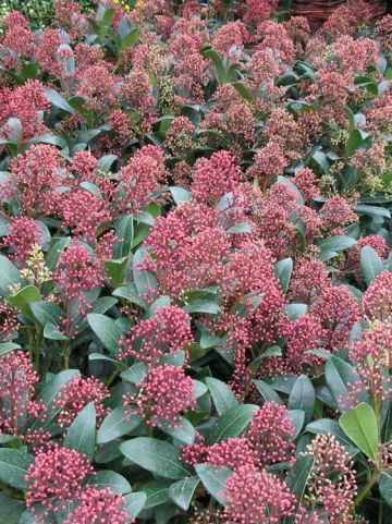 Skimmia japonica 'Rubinetta' -