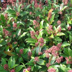 Skimmia japonica 'Ruby King' -