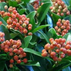 Skimmia japonica 'Temptation' -