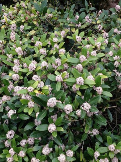 Skimmia japonica 'Veitchii' -