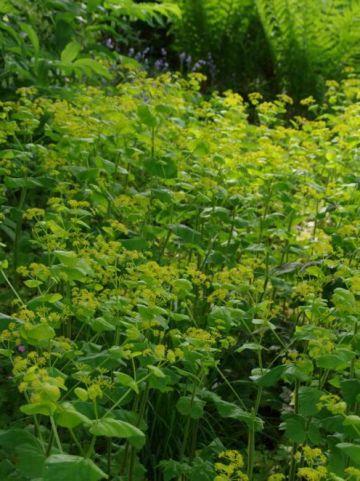 Smyrnium perfoliatum  - Goudkervel , Zwartmoeskervel , Doorwaskervel