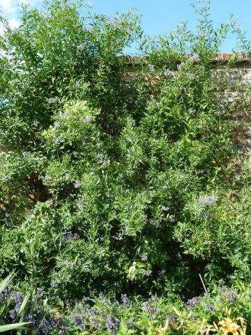 Solanum crispum 'Glasnevin' -