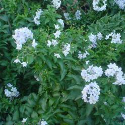 Solanum jasminoides - Klimmende nachtschade