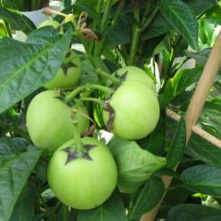 Solanum muricatum  - Pepino , Meloenpeer , Appelmeloen