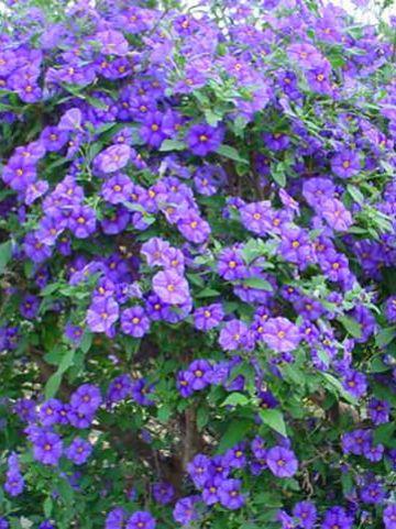 Solanum rantonnetii  -