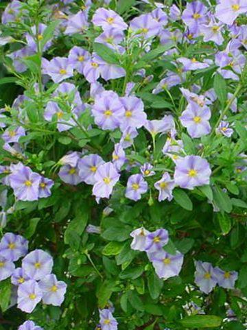 Solanum rantonnetii 'Charles Blue Star' -