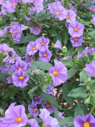 Solanum rantonnetii 'Charles Pink Star' (='Oosthen2') -