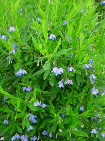 Sollya heterophylla - Sollya