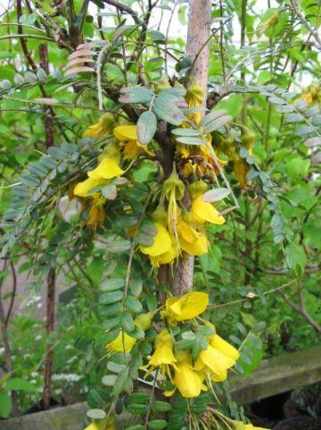 Sophora microphylla 'Sun King' (='Hilsop') - Honingboom