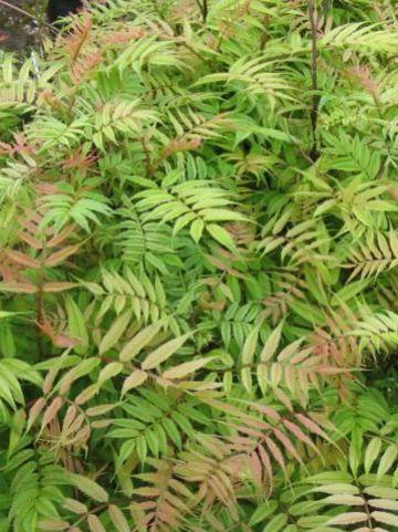 Sorbaria sorbifolia 'Sem' - Lijsterbesspirea