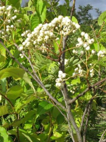 Sorbus hupehensis  - Lijsterbes