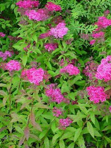 Spiraea japonica 'Anthony Waterer'  - Spierstruik