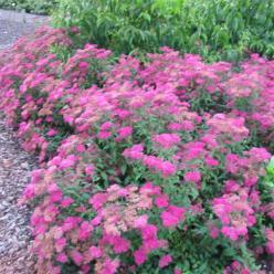 Spiraea japonica 'Dart's Red' - Spierstruik