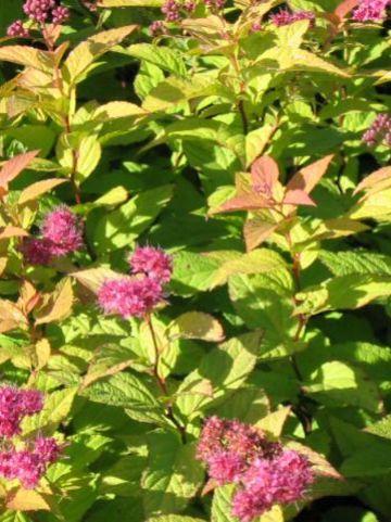 Spiraea japonica 'Goldflame' - Spierstruik