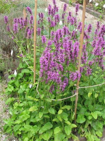 Stachys officinalis  - Betonie , Koortskruid