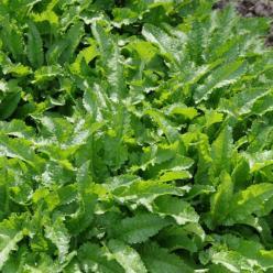 Stachys officinalis  - Betonie , Koortskruid