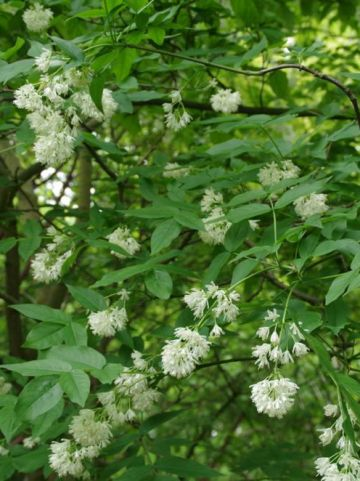 Staphylea colchica - Pimpernoot