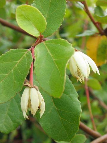 Stauntonia hexaphylla  -
