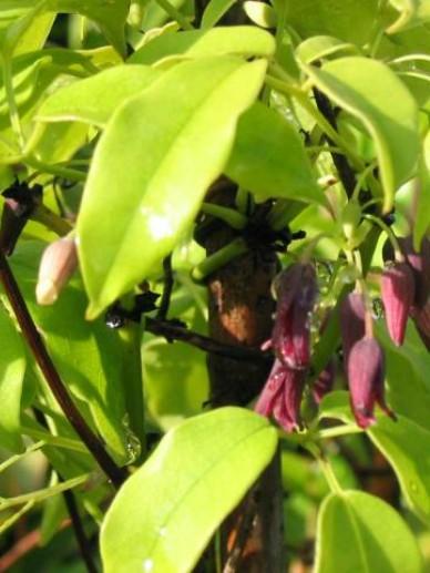 Stauntonia purpurea  -