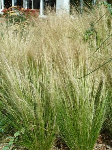Stipa tenuissima - Vedergras