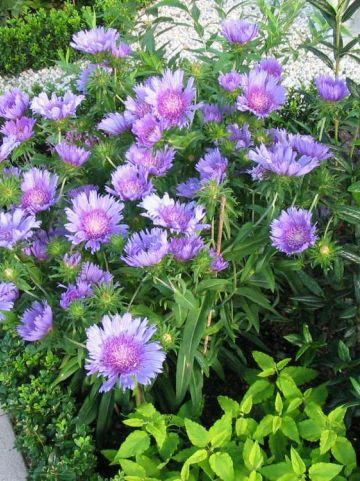Stokesia laevis 'Purple Parasols' - Korenbloemaster