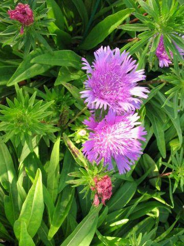 Stokesia laevis 'Purple Rain' - Korenbloemaster