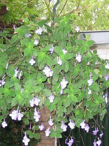 Streptocarpus saxorum  -