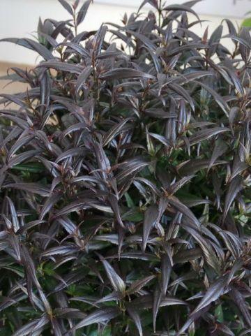 Strobilanthes anisophylla 'Brunetthy' (='Lankveld15') -