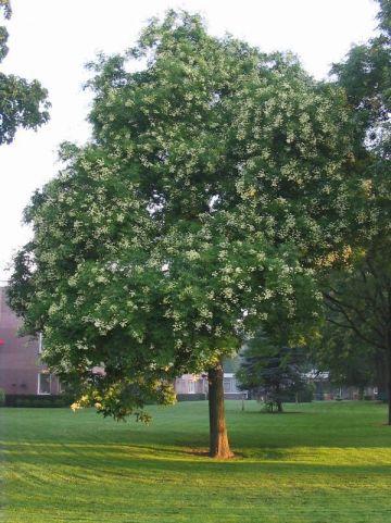 Styphnolobium japonicum  - Honingboom