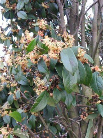 Sycopsis sinensis  -