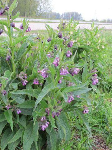 Symphytum officinale  - Gewone smeerwortel