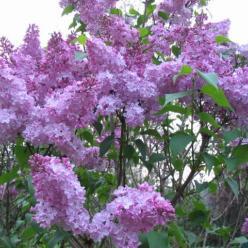 Syringa × hyacinthiflora  'Esther Staley' - Sering